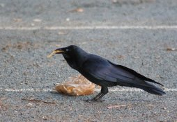 Australian raven eating chips