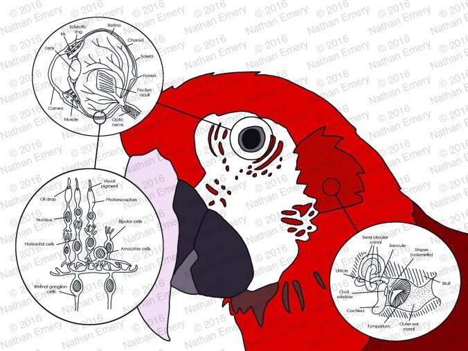 Avian Senses