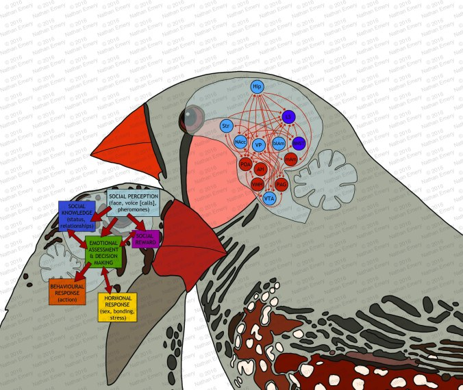 Avian Social Brain