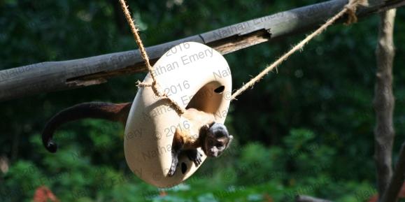 Capuchin Play