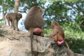 Hamadryas Baboons 1