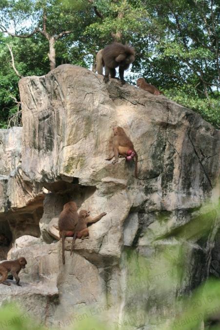 Hamadryas Baboons 2