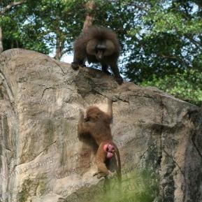 Hamadryas Baboons 3