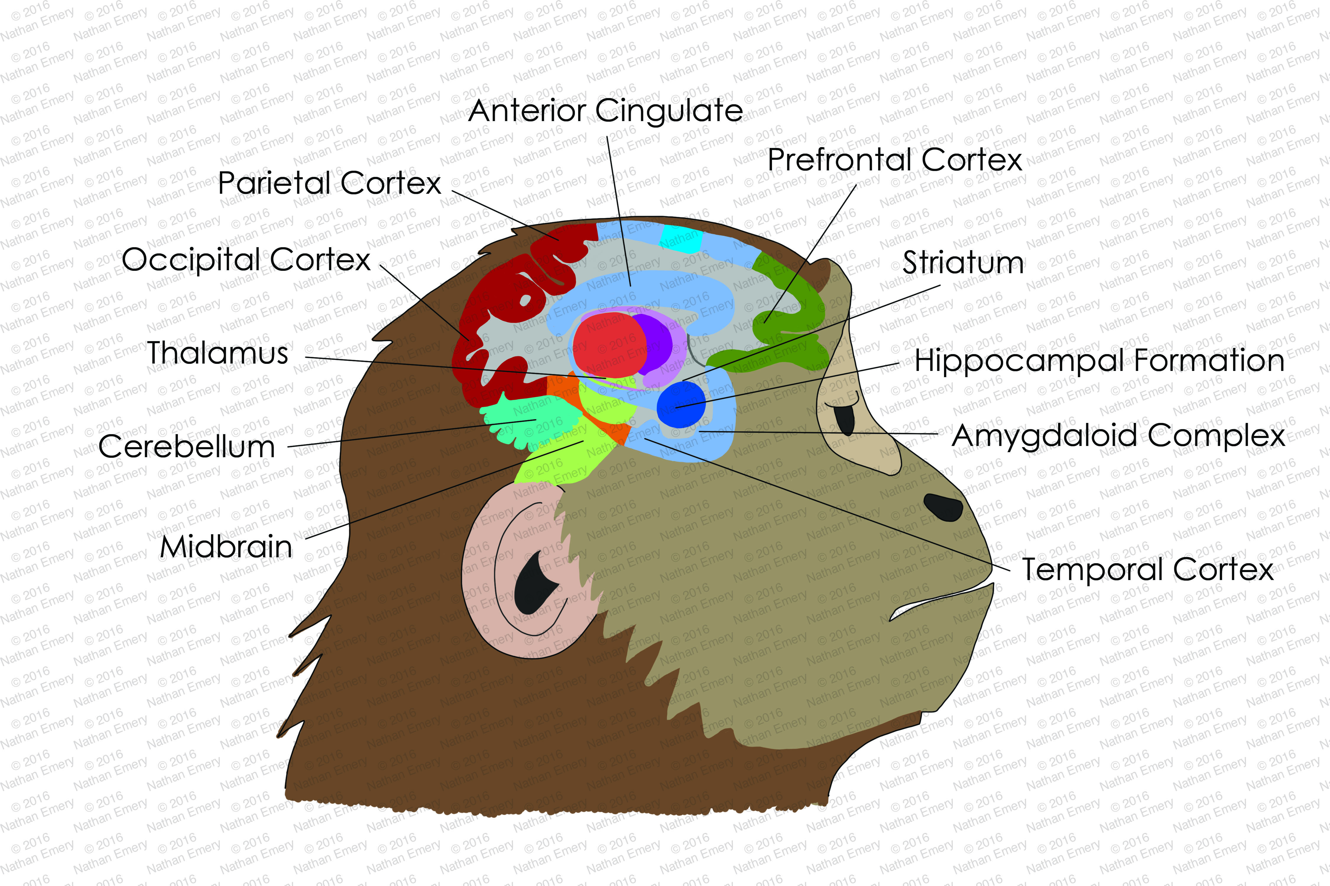 Monkey Brain Diagram - Circuit Wiring And Diagram Hub •