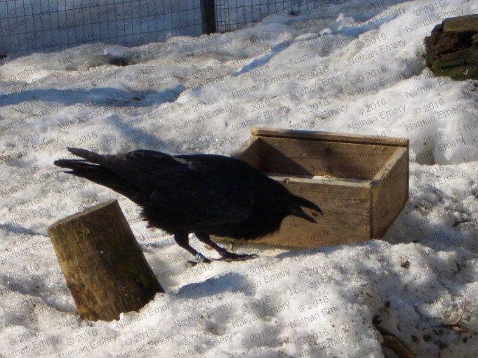 Raven Caching Panel B