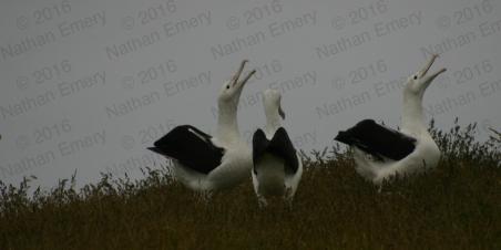 Royal Albatross 2