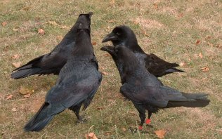 Social group of ravens